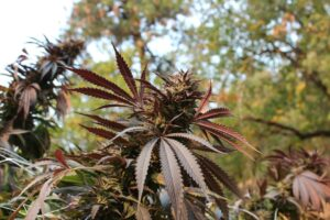 Beautiful cannabis plant in Oregon.